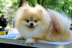 Pomeranian spitz. Decorative dog breed. pom pom Stock Images