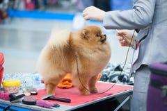 Pomeranian-Spitz an der Hundeshow stockfotografie