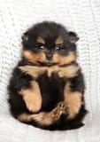Pomeranian-Spitz, der mit den Tatzen oben liegt lizenzfreies stockfoto