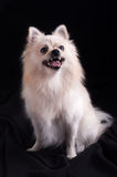 Pomeranian Spitz dog Royalty Free Stock Images