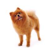 Pomeranian Spitz dog Royalty Free Stock Photos
