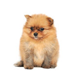 Pomeranian Spitz dog Royalty Free Stock Photos