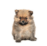 Pomeranian Spitz dog Stock Photos