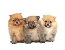 Pomeranian Spitz dog Royalty Free Stock Image