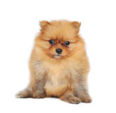Pomeranian Spitz dog Royalty Free Stock Photo