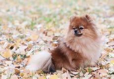 Portrait of cute pomeranian dog. The Pomeranian spitz-dog on autumn leaves. Portrait of cute pomeranian dog Stock Photos
