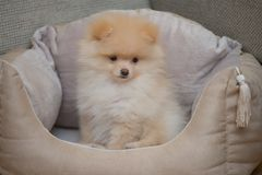 Pomeranian Spitz in dog bed. Lovely puppy. Funny pet Stock Photography