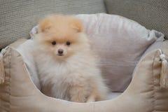 Pomeranian Spitz in dog bed. Poppy royalty free stock photo