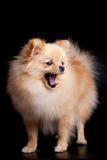 Pomeranian Spitz dog on black Stock Images