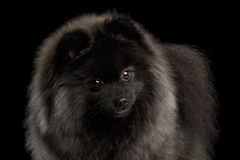 Pomeranian Spitz Dog on Black Stock Photos