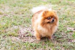 Pomeranian spitz dog stock image