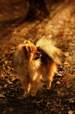 Pomeranian spitz,dog,doggy,puppy is staying and looking to the bright sunshine in the forest Stock Images