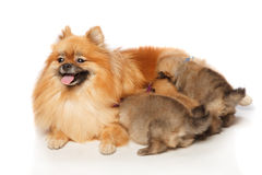 Pomeranian Spitz dog with her puppies Stock Photography