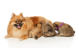 Pomeranian Spitz dog with her puppies Stock Photo