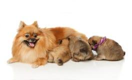 Pomeranian Spitz dog with her puppies Stock Photo
