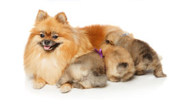 Pomeranian Spitz dog with her puppies Stock Image