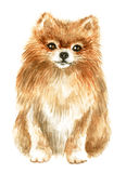 Pomeranian spitz-dog. Image of a thoroughbred dog. Watercolor painting Royalty Free Stock Images