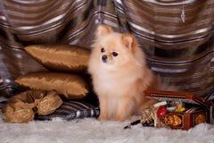 Pomeranian Spitz dog in luxury Royalty Free Stock Images