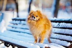 Pomeranian spitz dog posing on a bench Royalty Free Stock Image