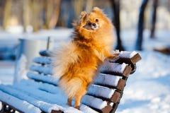 Pomeranian spitz dog posing on a bench Royalty Free Stock Photo