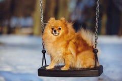 Pomeranian spitz dog posing on a swing Royalty Free Stock Images