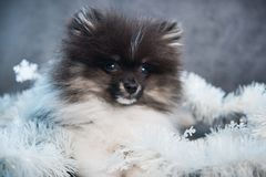 Pomeranian Spitz dog puppy in garlands on Christmas or New Year stock photo
