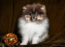 Pomeranian Spitz dog puppy with New Year ball on Christmas or New Year stock photography