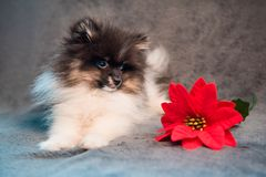 Pomeranian Spitz dog puppy and red flower stock photography