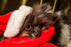 Pomeranian Spitz dog puppy in santa hat on Christmas and New Year stock photo