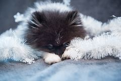 Pomeranian Spitz dog puppy is sleeping in garlands royalty free stock photo