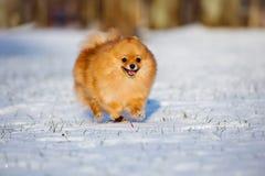 Pomeranian spitz dog running on snow Stock Photo