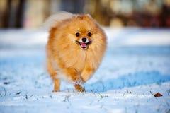 Pomeranian spitz dog running on snow Stock Images