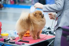 Pomeranian Spitz at the Dog Show stock photography