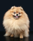 Pomeranian Spitz dog sitting Royalty Free Stock Photos