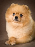 Pomeranian spitz-dog in studio Royalty Free Stock Photography