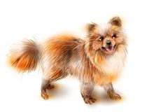 Pomeranian spitz. Dog is the symbol of 2018 Stock Image
