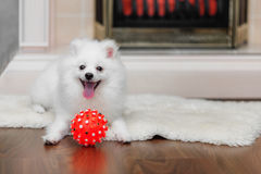 Pomeranian spitz with dog toy Royalty Free Stock Photo