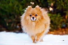 Pomeranian spitz dog walking outdoors Royalty Free Stock Photos