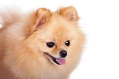 Pomeranian Spitz dog on white Stock Image