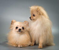 Pomeranian spitz-dogs in studio Stock Photo