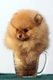 Pomeranian spitz in een bierglas Stock Afbeeldingen