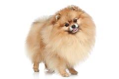 pomeranian spitz för hund Arkivbilder