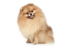pomeranian spitz för hund Royaltyfria Foton