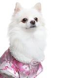 pomeranian spitz för hund Fotografering för Bildbyråer