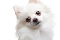 pomeranian spitz för hund Royaltyfri Foto