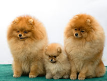 Pomeranian spitz family Stock Photography