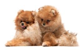Pomeranian spitz family. Two playing pomeranian spitz; isolated on the white background stock images