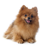 Pomeranian spitz Stock Photography