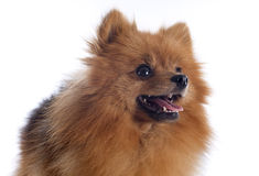 Pomeranian spitz. In front of white background Stock Image