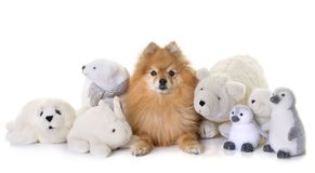 Pomeranian spitz and cuddly toys Stock Photo